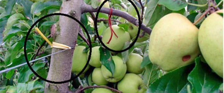 Gyümölcsösök biológiai növényvédelme VI.