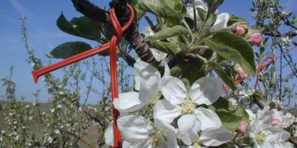 Gyümölcsösök biológiai növényvédelme V.