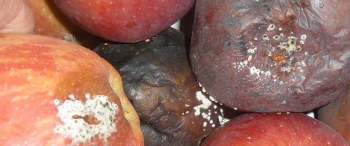 Az almatermésűek moníliás gyümölcsrothadása ellen biológiai módszerekkel