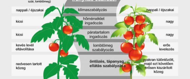 Egyensúlyozás a paradicsomtermesztésben