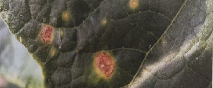 Didimella az uborkán