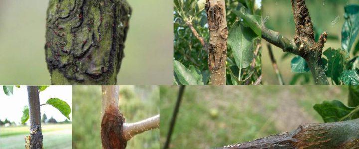 Védekezés a nektriás ágrák ellen
