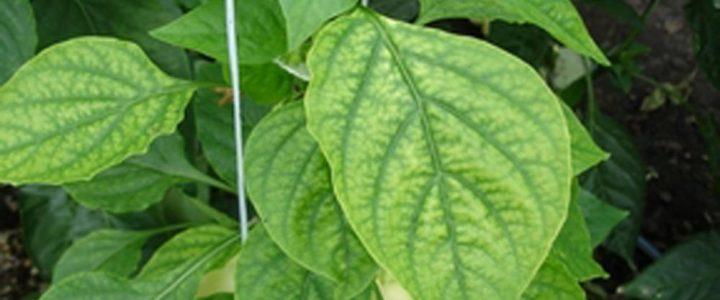 A magnézium szerepe a növények életében